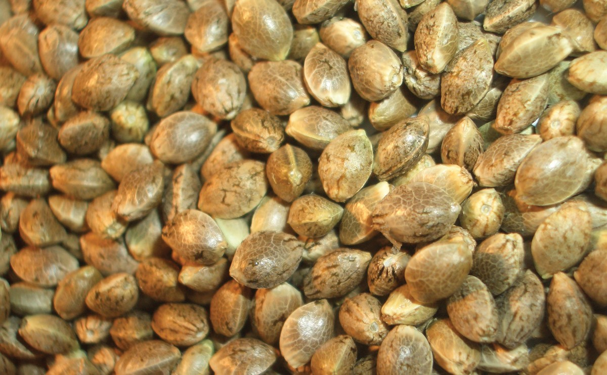 how to make 100 feminized seeds