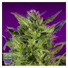 Purple Valley OG Grand Daddy Purple Seeds